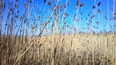 array : Reed marshes Stock Footage