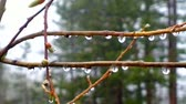 hydrology : Fringe of rain drops and mist on green branches of tree