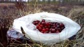 cowberry : cranberries are collected in the swamp