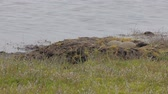 vysedět : Red-throated divers nest on  tundra. Novaya Zemlya