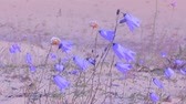 aesthetic : blue bells grow on sand among sea dunes