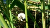 junco : Great crested grebe Podiceps cristatus floating nest with eggs Stock Footage