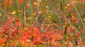 adder : Filming as sundew eats green dragonfly-arrow