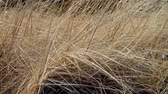 simbolismo : Dry last years grass shivering in wind. Symbol of old age