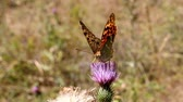 scratchy : Old pale wounded butterfly silverspot dies its short life in September. Stock Footage