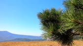 tableland : Crimean pine on plateau. August. Mountain meadows. Pine branch close up. Filming with hands