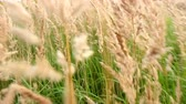 veld : Camera moves through meadow, among tall grasses on level of lush ears Stock Footage