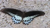 frayed : Huge butterfly in last frayed gown sitting on rock in strong wind. The dying beauty (streetwalker). Swallowtail butterfly Polymnestor (Papilio Polymnestor) in January. India, state of Kerala Stock Footage