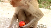 vislumbre : Even monkey understands benefits of organic vegetables 1. Indian Macaque with ripe tomato. Note expressiveness of eyes (long live vegetarianism! Fun) Vídeos