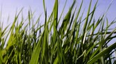lazily : Leaves of grass. Walt Whitman: what is grass? The tops of the young reed (cane) lazily sway in warm summer breeze