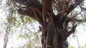 bo : Large ficus. Sacred Banyan tree in India (animism), however, not well maintained Stok Video