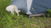 tomcat : white cat is one animal tourist camp. come hide from  rain