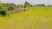 elegáns : Gorgeous Indian farm - well-groomed rice  fields and palm groves