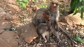 elegáns : Vivid pictures of lives of Indian macaques. two nursing females and one baby for two