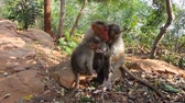 elegáns : Vivid pictures of lives of Indian macaques. two nursing females and one baby for two -  hilarious family scene