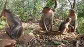 elegáns : Vivid pictures of lives of Indian macaques. three lactating females and one baby in three - hilarious family scene Stock mozgókép