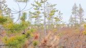 raised bog : Feral reindeer cautious and go off in search of  reindeer lichen on deserted raised bog Stock Footage