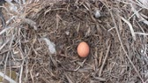pigeon nest : Robber. Falcon Merlin (pigeon-hawk, Falco columbarius) expelled couple of crows and laid its first egg to their nest