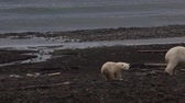 ice situation : Polar bear on Franz-Josef Land. Female with cub-sucker are on beach and smelled of man. He blows his nose, it seems