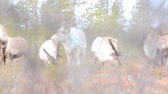raised bog : Feral reindeers are very careful. Animals feed cup moss (reindeer lichen) on raised bogs. Video via plants