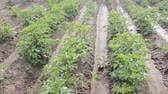 olericulture : Vegetable growing in open ground. Planting potatoes,  potato farming with irrigational system, vegeculture, shortest carrot