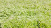 palouk : Meadow grass sway from side to side in gusts of fresh breeze, Bright greens playing under sun