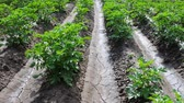 olericulture : Growing vegetables in open ground. Potatoes and irrigated field