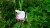 чертово : Butterflies is time of love. Mating butterfly - Black-veined white (Aporia crataegi), thorn butterfly