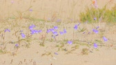campanário : Cute little bluebell (ladys-thimble, witches-bells, bluebell of Scotland Campanula rotundifolia) tremble in wind, among sand dune Stock Footage