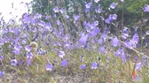 campanário : Bluebell (ladys-thimble, witches-bells, bluebell of Scotland Campanula rotundifolia) tremble in wind, among sand dune