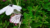 чертово : Butterflies is time ardor of love. Mating behavior. Copulation butterfly - Black-veined white (Aporia crataegi), thorn butterfly