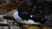 plumagem : Sea birds of high Arctic (the North). Little auk special subspecies (Alle alle polaris), Franz-Josef Land