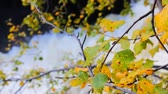 north stream : Autumn, yellow leaves, waterfall in background Stock Footage