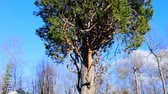 bo : Witches broom pine affected by pest (fungus Crinipellis perniciosa). But in middle ages thick tree believed by broomstick for witch flies to Sabbat. Bo tree