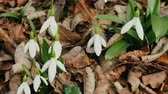 late spring : Flower of life, Primavera. Thousands of years Snowdrop pleased with Northern residents as flower of end of winter. Sweet-William (Galanthus nivalis)
