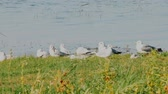 seagull : Summer idyll (Granchester meadows). A warm quiet day and seagulls Larus ridibundus resting on meadow lake. Voices of black-headed gulls