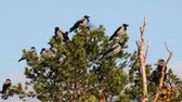 entellektüel : Hooded crow (Corvus cornix) are also migratory birds. Flock of migratory hooded crows resting in pine. Comfortable state of plumage, habitus of rest
