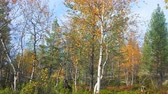 boreal : Sere and yellow leaf. Fall forest in Northland (subarctic zone, boreal climate). Yellow birch and pine trees on Sunny autumn day. Timelapse UHD 4K