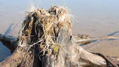 mew : Guide bird nest for birdwatchers. Unusual way of nesting. Common gull made nest on top of stump in water Stock Footage