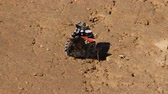 casca : Red admiral (Pyrameis atalanta) butterfly sitting on dirt road, sucks water. Sharp wings spread out to attract marriage partner and scare predator