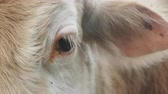 alado : Cow and cow bothersome muscas (face fly, Musca autumnalis), need (benefit) for long ears. Flies are harmful to fattening of cows and milk yield. Eye and ear cow closeup Stock Footage