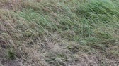 spell : Spring. Green grass sprouts through  dry last years grass. wind rustles grass