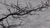 береза : Spring is slowly moving. Buds swell on background of blackened melting snow. natural study