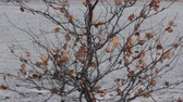 беспорядок : Painful condition of forest. Birch has not dropped their leaves in fall and all winter