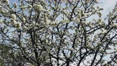 floração : Most pleasant moments of spring. Fragrant white blooming Apple trees and buzzing of bees collecting nectar, flitting from flower to flower, honeyflow, orchard Vídeos