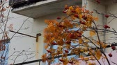 fırça : Dear home. Autumn came to Northern city. Red brush (ashberry) of Rowan tree swaying in wind near window