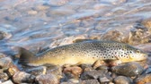 sport fishing : Good trophy. Caught by spinning brown trout (Salmo trutta fario) is in water on pebbles