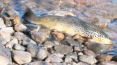pstrąg : Good trophy. Caught by spinning brown trout (Salmo trutta fario) is in water on pebbles