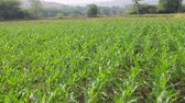 сектор : Corn fields in the South of India, Jan. Young lush plants promise good harvest Стоковые видеозаписи