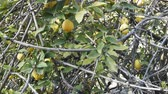 bucks : Subtropical thicket. Lemons (tree with fruit) entwined with wild grapes. Mediterranean, Turkey Stock Footage